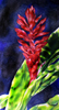 Red Ginger from Hawaiian series in Prismacolor by Christine Boyce